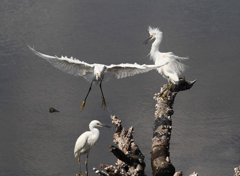 Three Egrets on a Stump