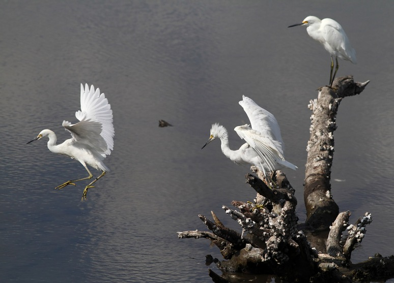 Three Egrets on a Stump