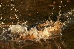 Alligator Bangs Head IntoWater