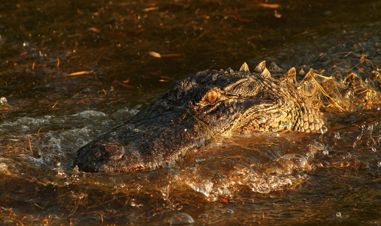 Alligator Bangs Head Into Water