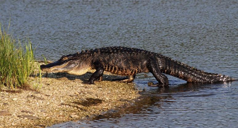 Alligator Climbing Up On Gator Island