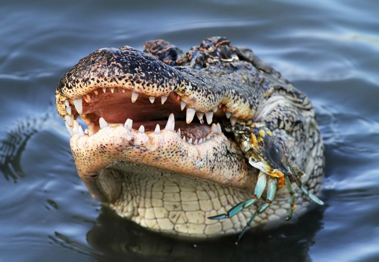Alligator Crunching a Crab