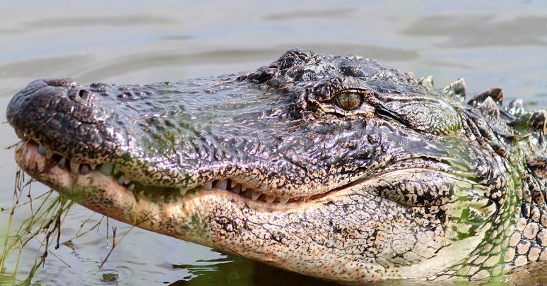 Alligator Feeding at the Edge of the Marsh