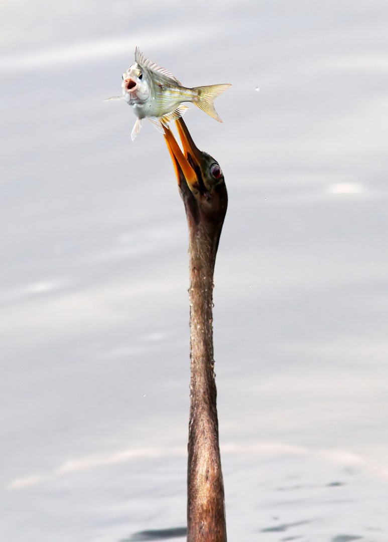 Anhinga with Startled Fish