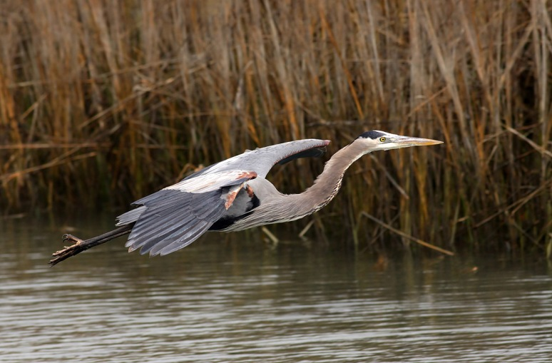 GBH Lands in Salt Marsh Reeds