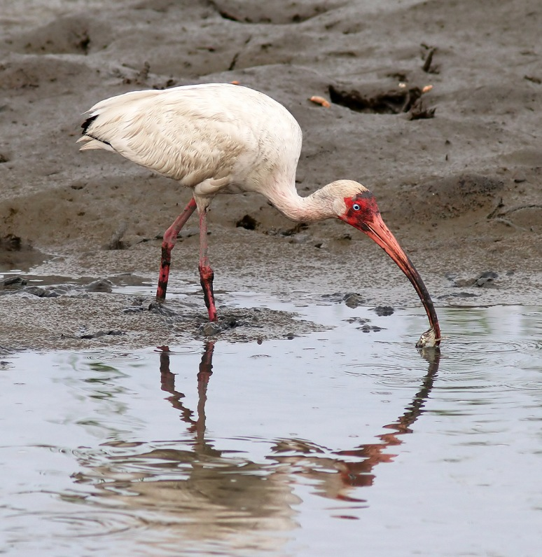 Ibis Hacks Up A Crab