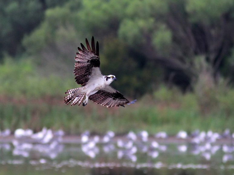 Morning Osprey Flights