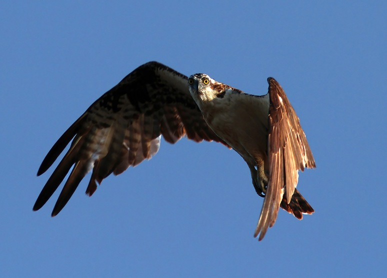 Osprey Looking Down