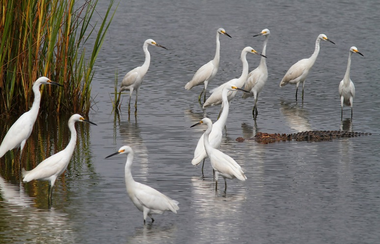 Snowy Egret Convention