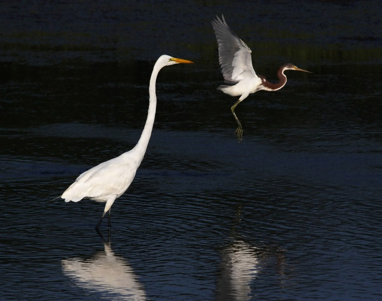 Tricolor Flies Past Egret