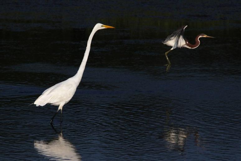 Tricolor Flies Past Egret
