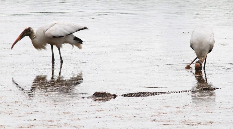 Wood Storks and Alligator
