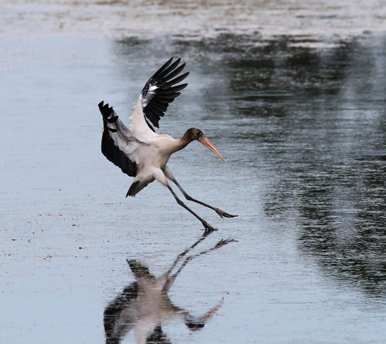 Young Wood Stork Flying In