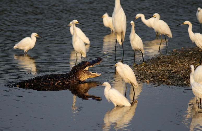 Alligator and Egret Friends