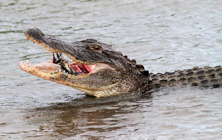 Alligator Catches Crab in Salt Marsh