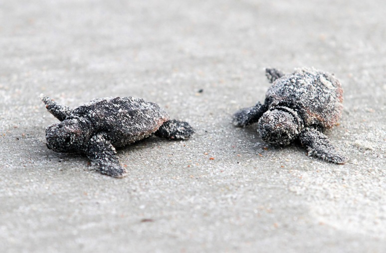 Baby Sea Turtles Head To The Ocean