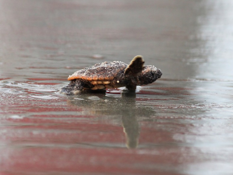 Baby Sea Turtles Head To The Ocean