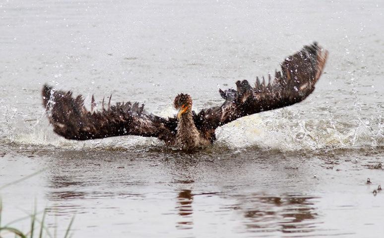 Cormorant Bathing