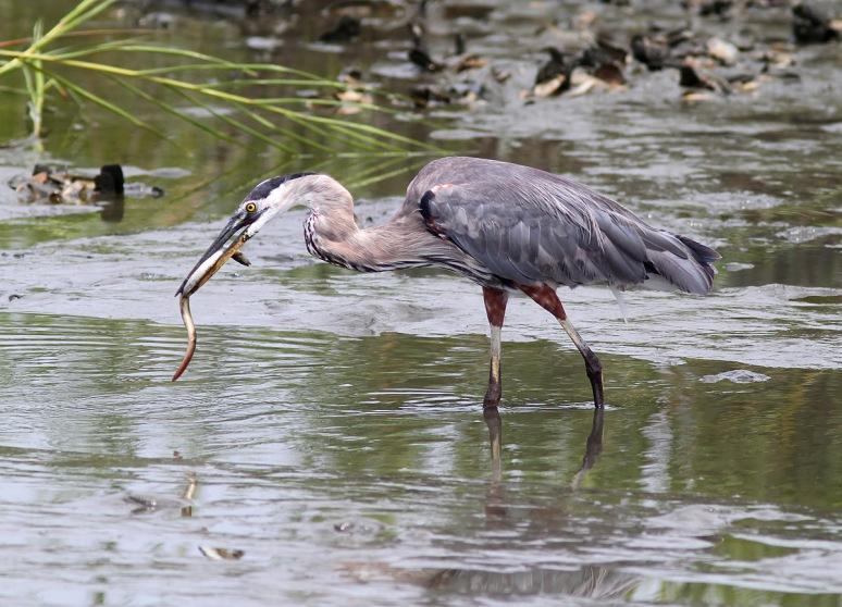 GBH has Eel in Salt Marsh