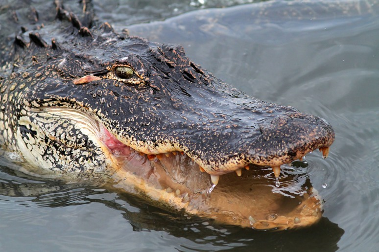 Hungry Alligator in Salt Marsh