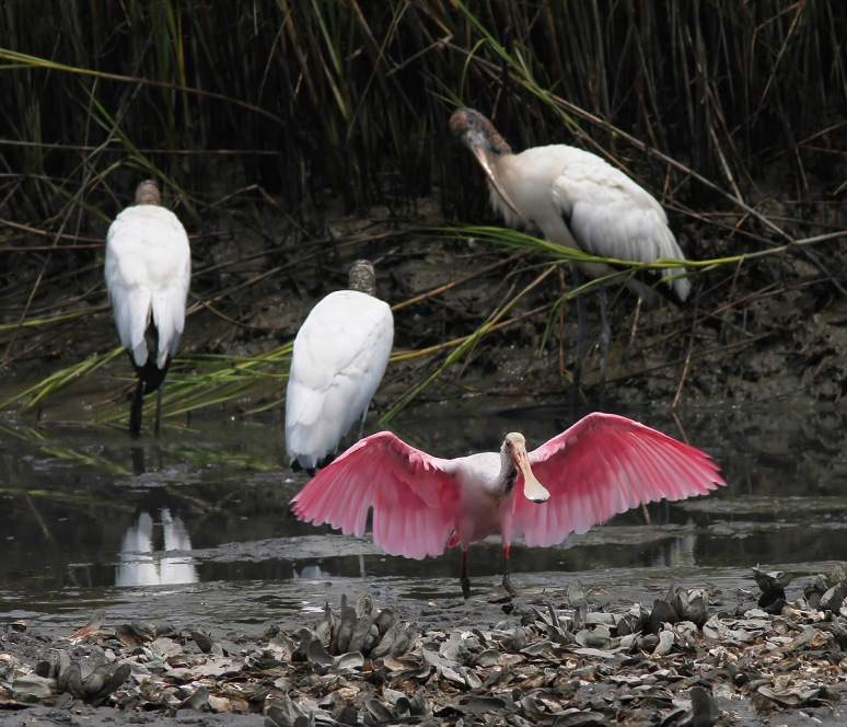 Injured Spoonbill Friday Morning