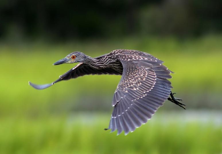 Juvenile Night Heron Flight