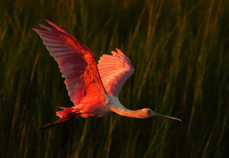 Roseate Spoonbill Evening Flight