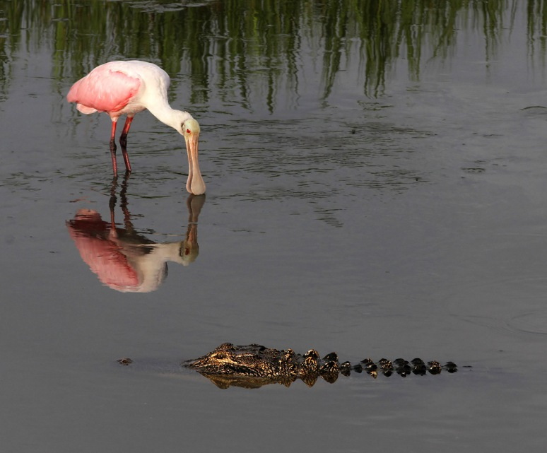 Spoonbill and Alligator in Salt Marsh