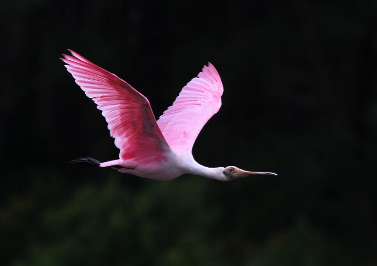 Spoonbill Arrives in Marsh