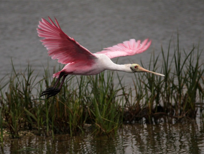 Spoonbill Early Morning