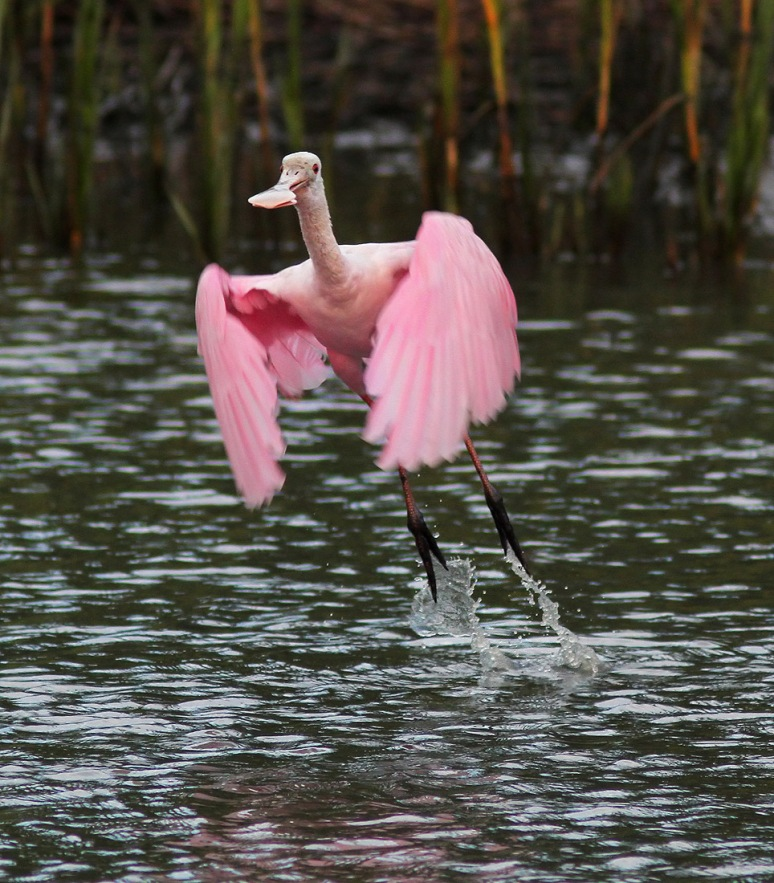 Spoonbill Jumps Off From Salt Marsh