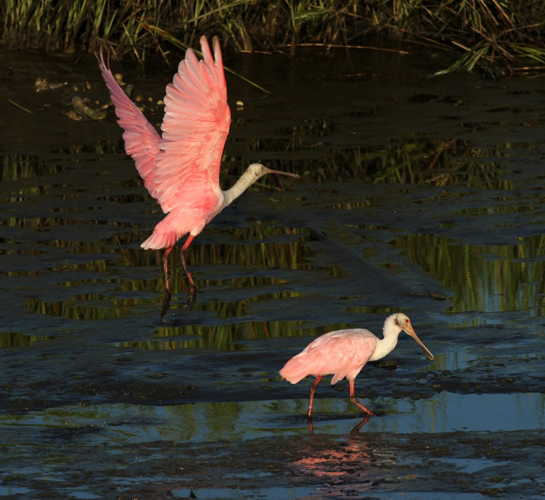Spoonbill Jumps Over His Friend