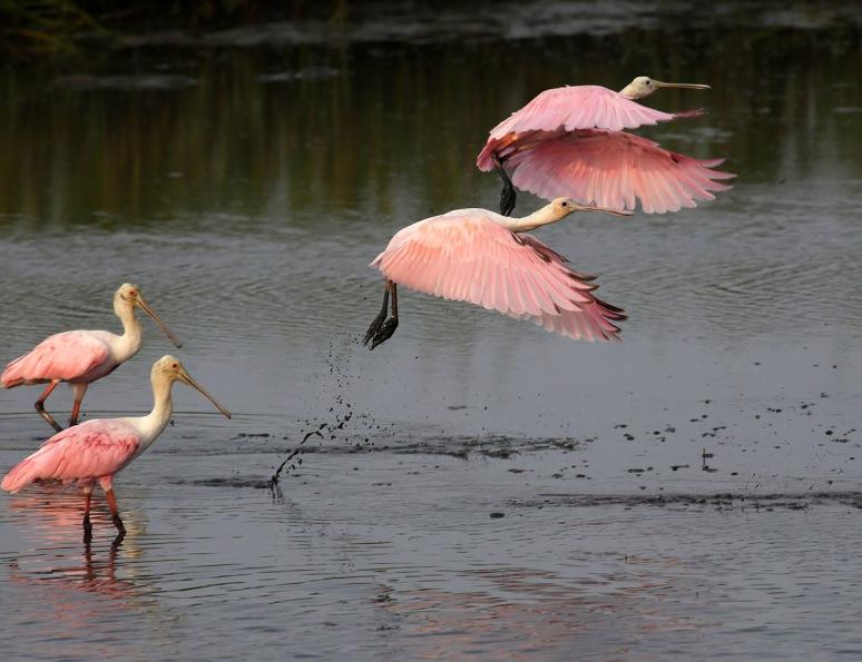 Spoonbill Juvies Leave the Marsh