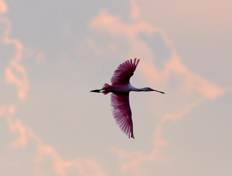 Spoonbill Sunset Flight