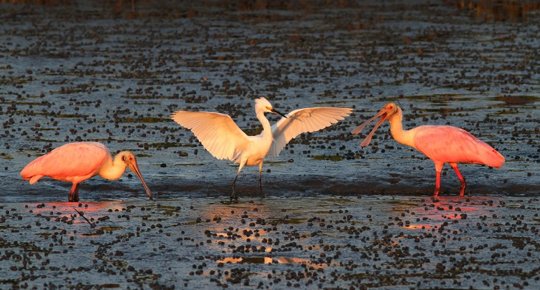 Spoonbills and Snowy in Salt Marsh