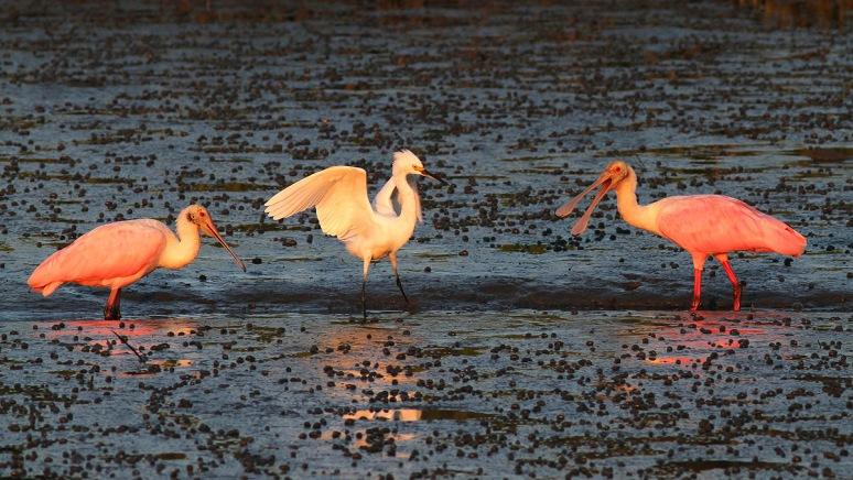 Spoonbills and Snowy in Salt Marsh