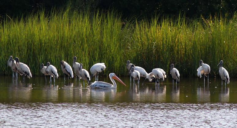 White Pelican Visits Wood Storks