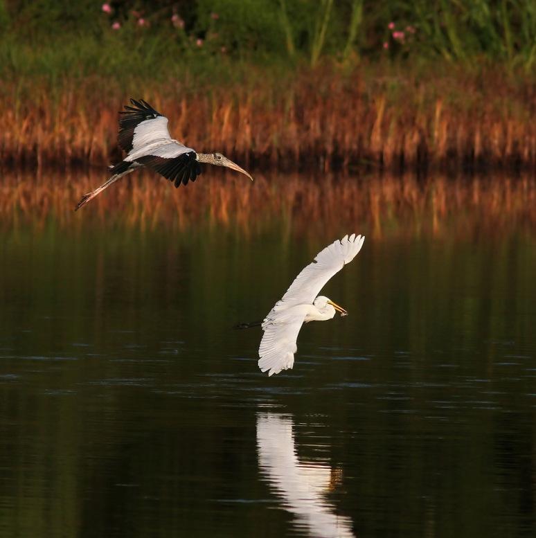 Wood Storks Chasing Egret