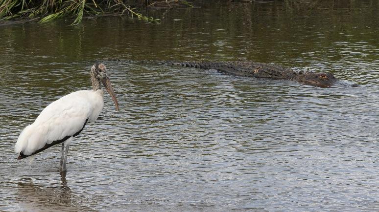 Woody Bites Alligator