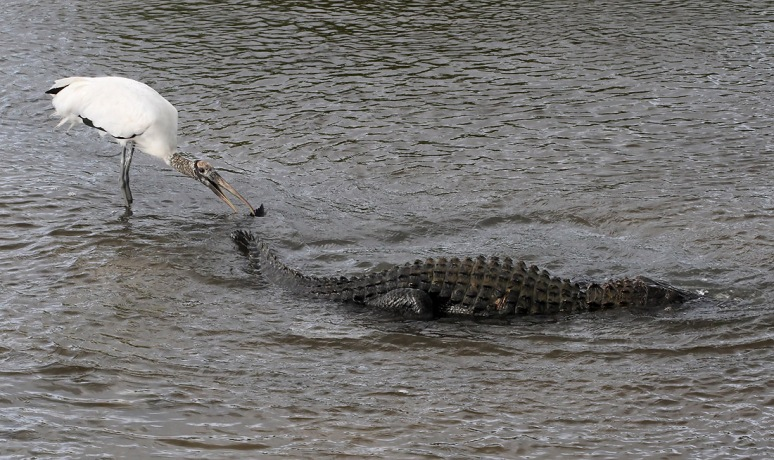 Woody Bites Alligator