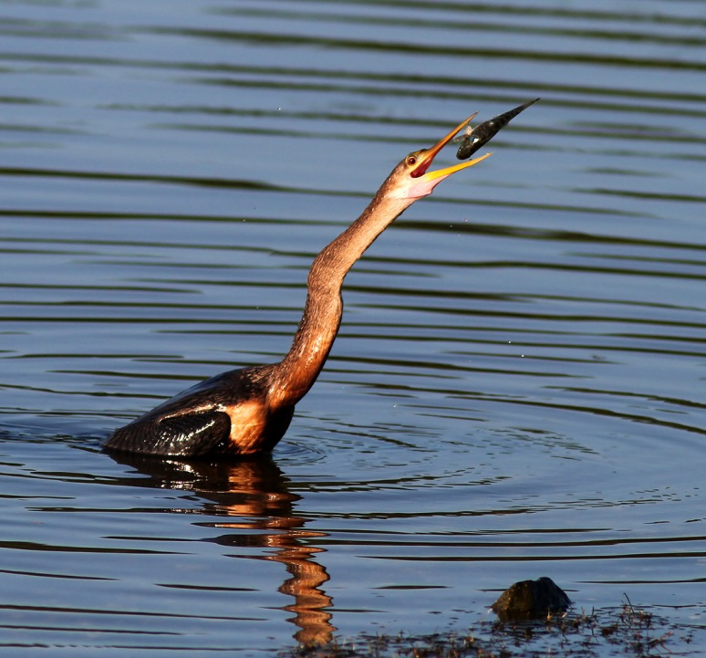 Anhinga Fishing in the Morning