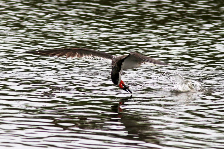 Black Skimmer Fishing in the Salt Marsh