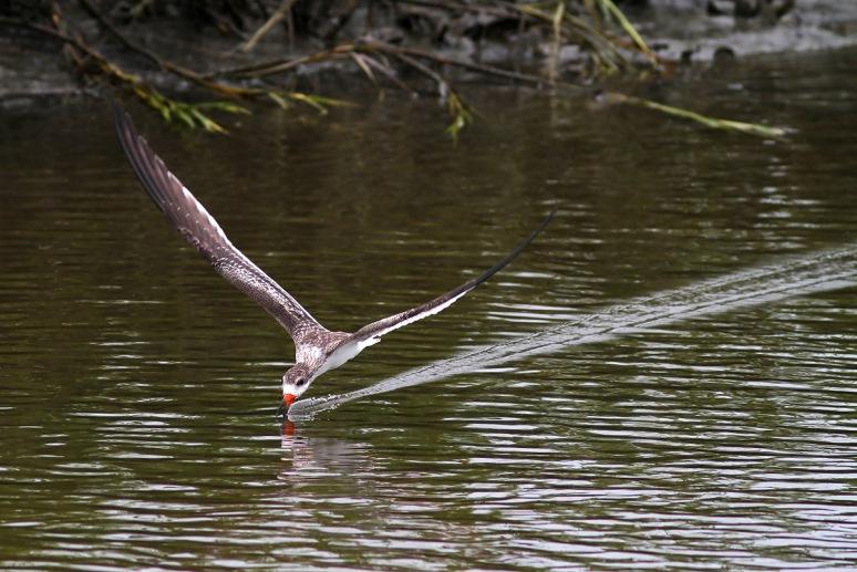 Black Skimmers Working the Salt Marsh