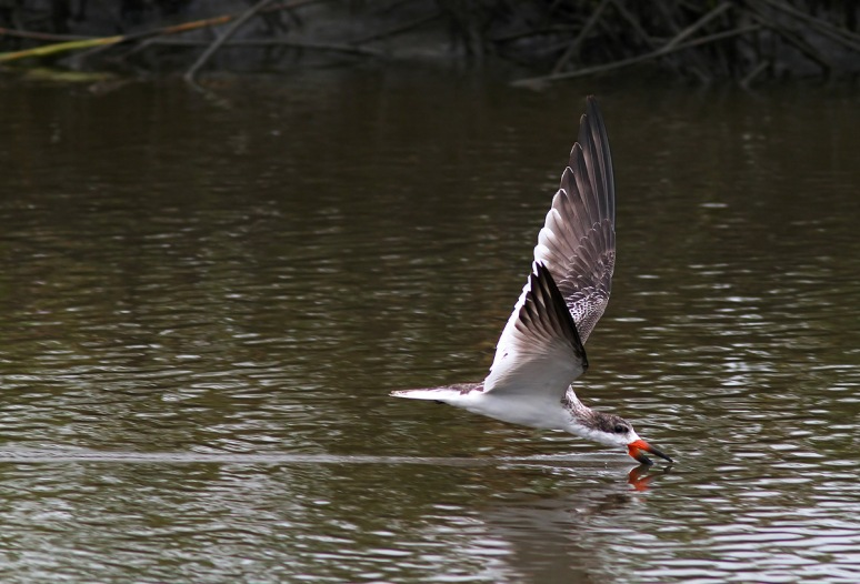 Black Skimmers Working the Salt Marsh