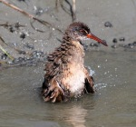 Clapper Rail Bathing in the Salt Marsh