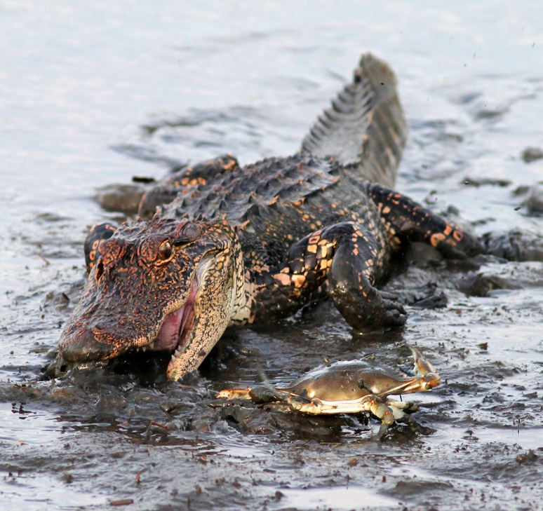 Crabby One Alligator Zero
