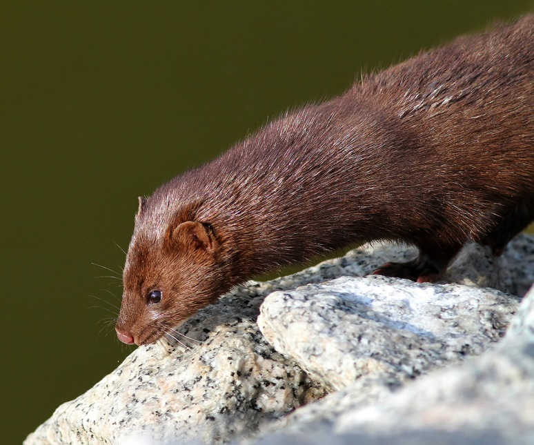 Mink Along the Marsh