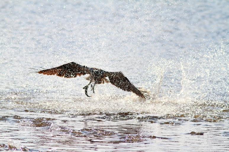 Osprey Splashes Up A Fish