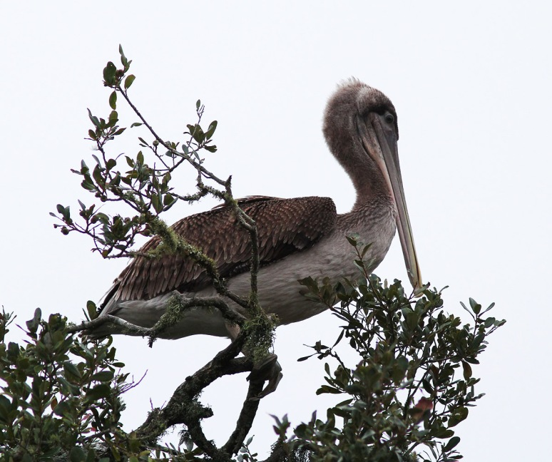 Pelican Up A Tree