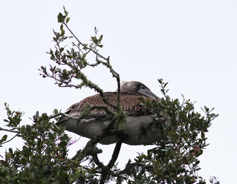 Pelican Up A Tree